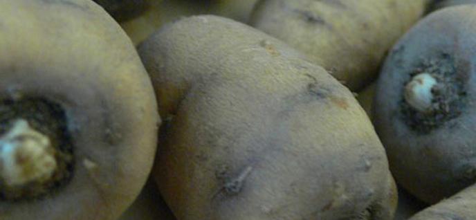 turnip chervil