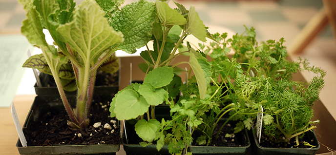 grow culinary herbs