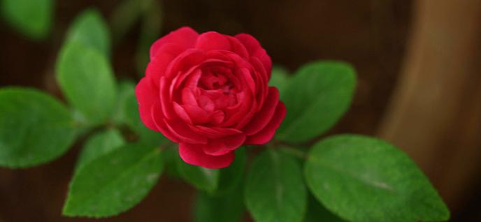 rose planting